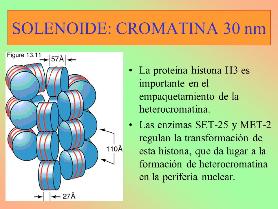 SOLENOIDE: CROMATINA 30 nm