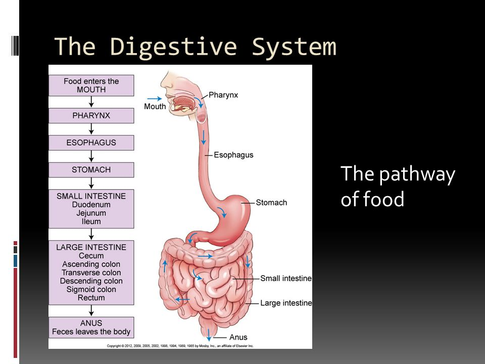 Chapter 11: Digestive System - ppt download