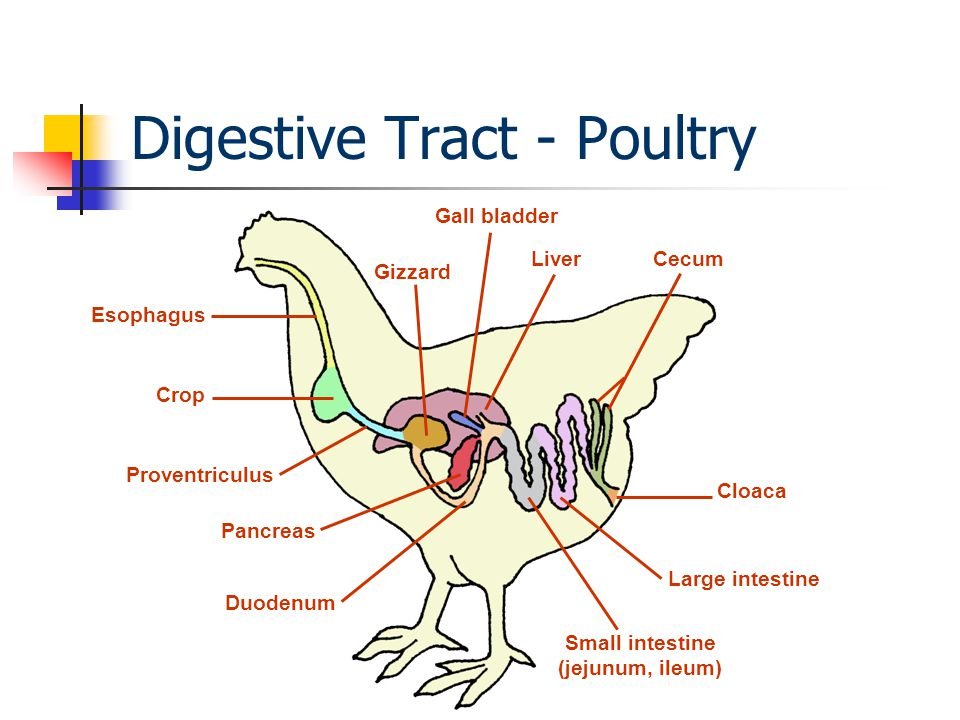 digestive of a chicken Burgess wellbeing digestive health for dogs (chicken) has been developed  with the finest quality ingredients to provide a suitable meal for dogs with  sensitive.