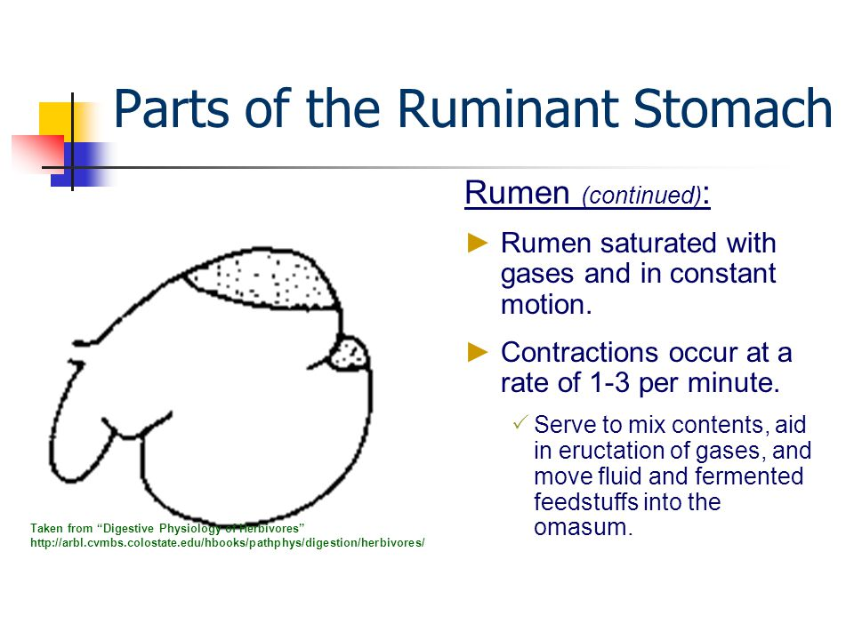 ruminant fluid Ruminant digestive system acomplex structure with four compartments source: animal feeding and nutrition (jurgens.
