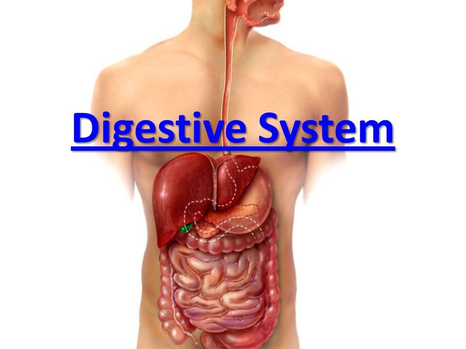 Digestive System. - ppt video online download