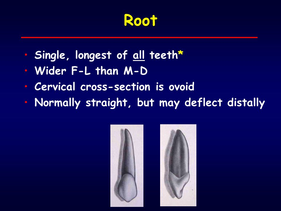 Root Single, longest of all teeth* Wider F-L than M-D