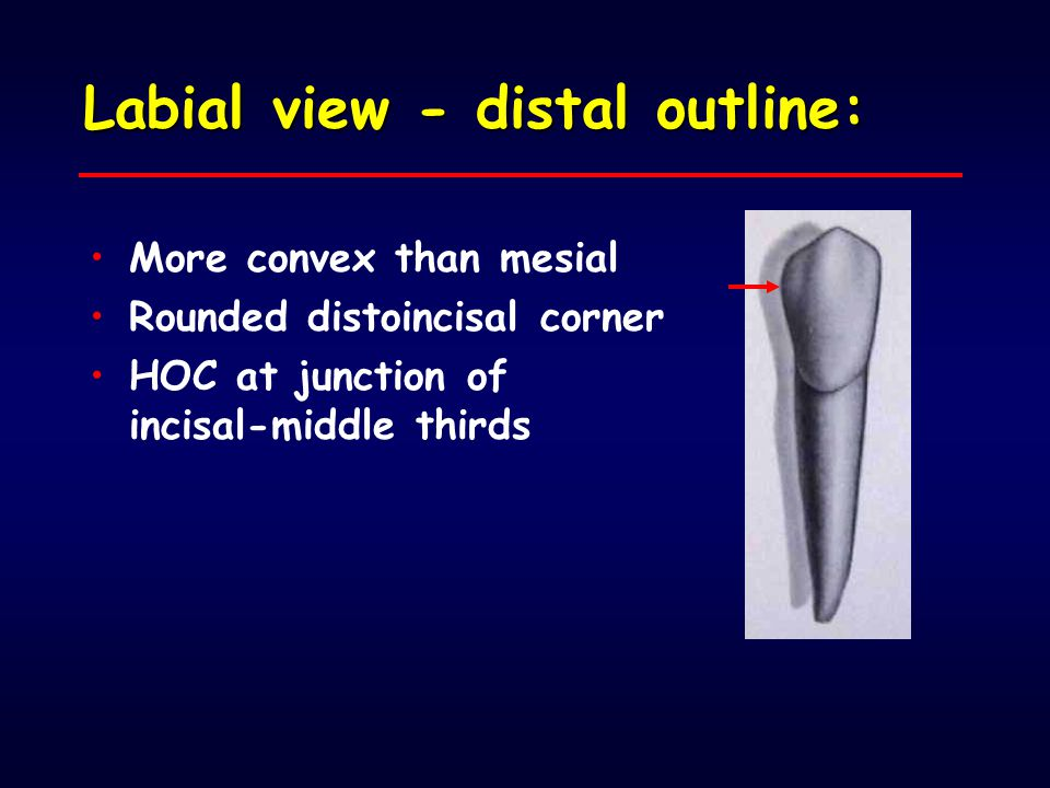 Labial view - distal outline: