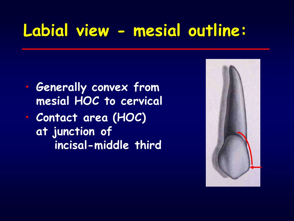 Labial view - mesial outline: