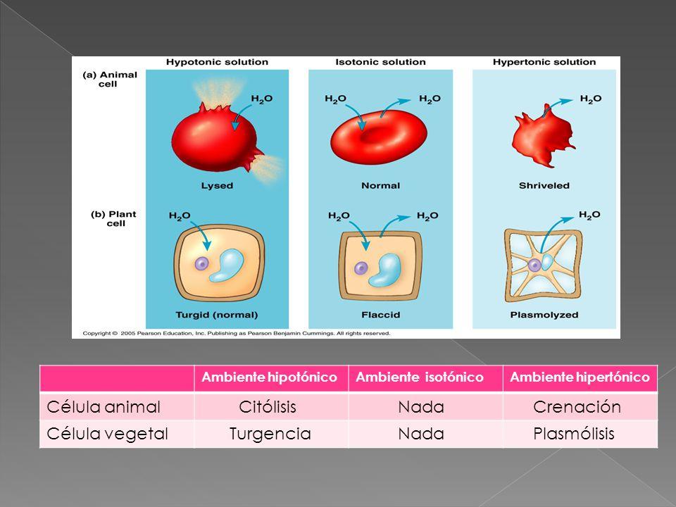 Célula animal Citólisis Nada Crenación Célula vegetal Turgencia