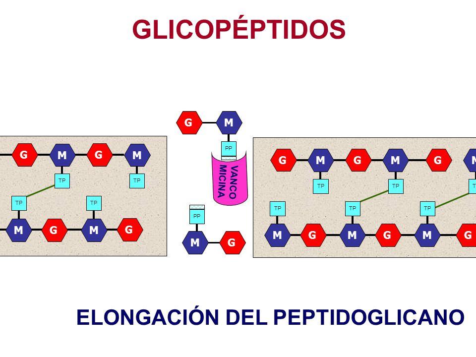 GLICOPÉPTIDOS ELONGACIÓN DEL PEPTIDOGLICANO G M G M G M G M