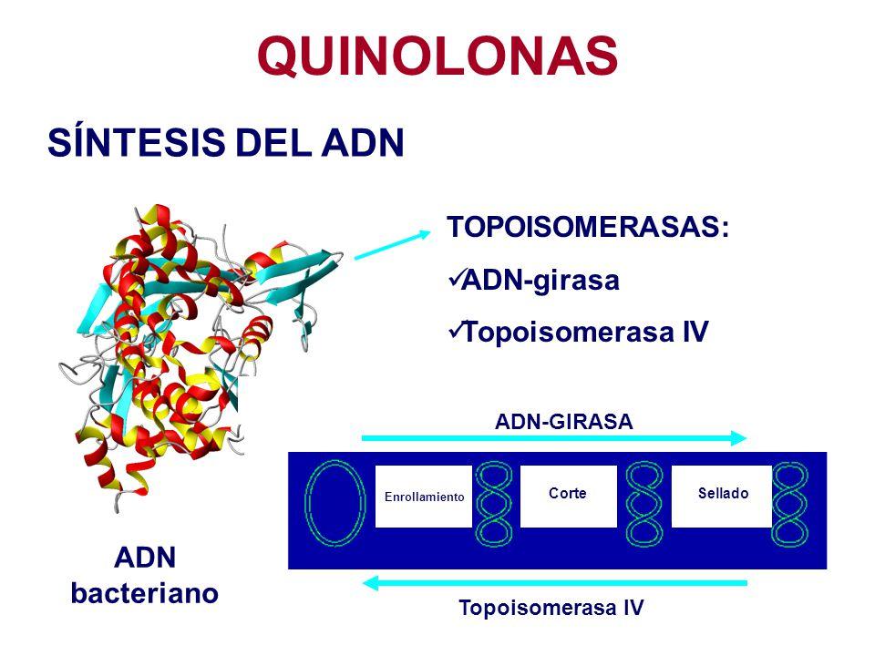 QUINOLONAS SÍNTESIS DEL ADN TOPOISOMERASAS: ADN-girasa