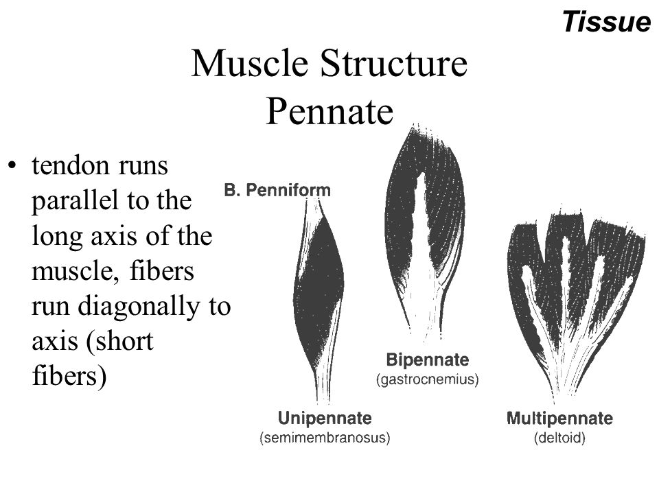 Muscle Internal Motors Of Human Body Responsible For All