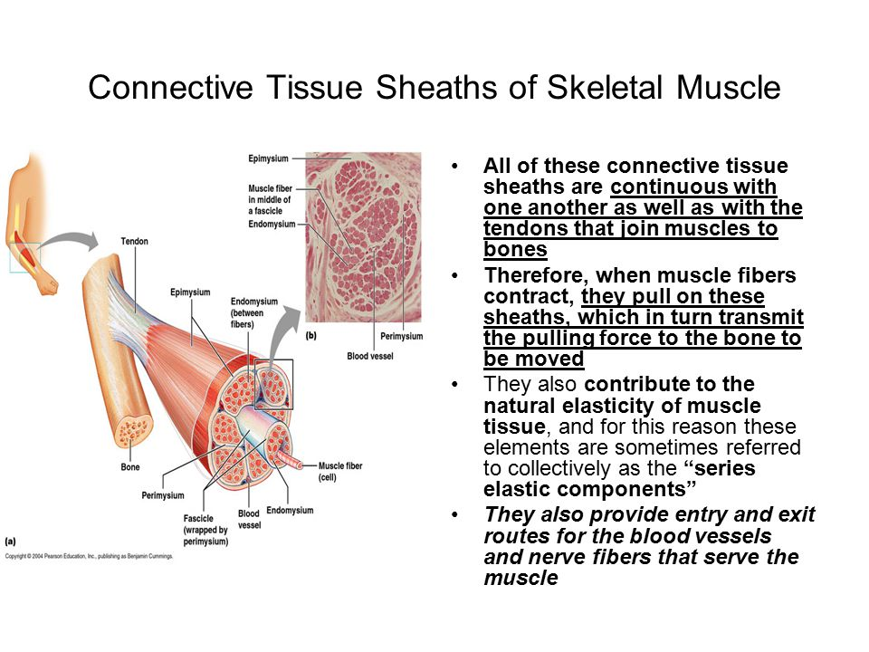 Human connective tissue