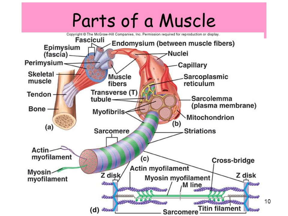 DESIGN: Sections Associated with Typically the Muscle Method