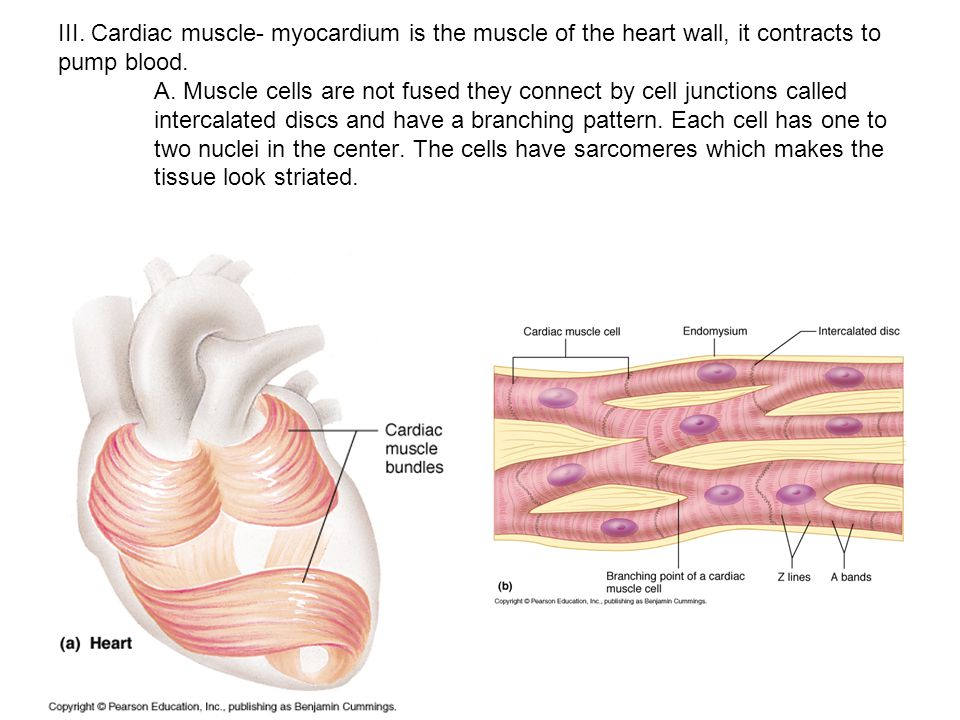 Pictures Of Cardiac Muscle Tissue Sarcomere Slide Labeled Rock Cafe