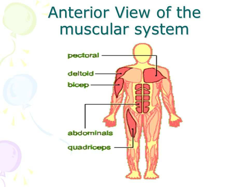 Anterior View of the muscular system