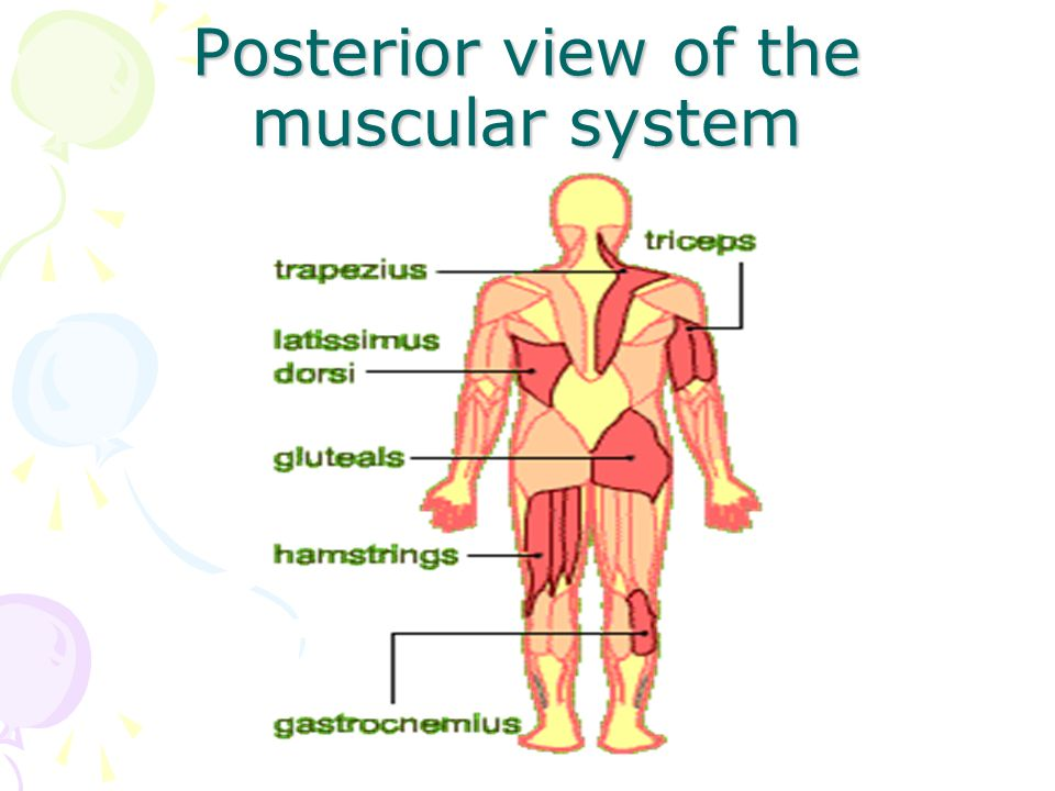 Posterior view of the muscular system