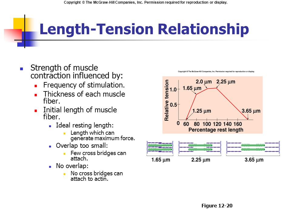 length tension relationship muscle contraction definition