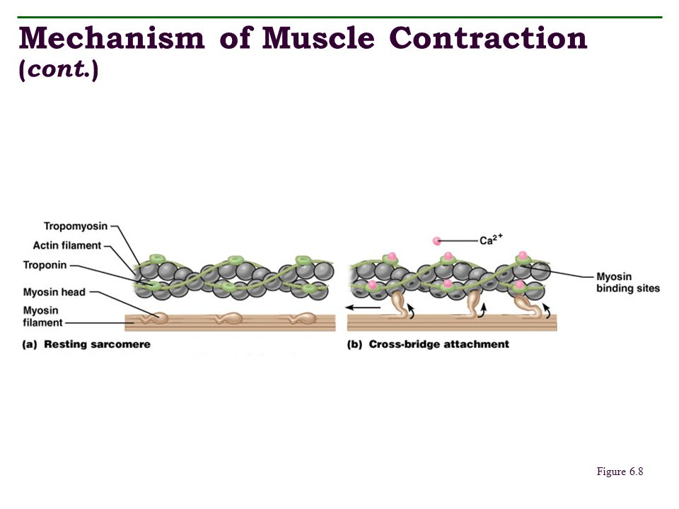 Mechanism of Muscle Contraction (cont.)