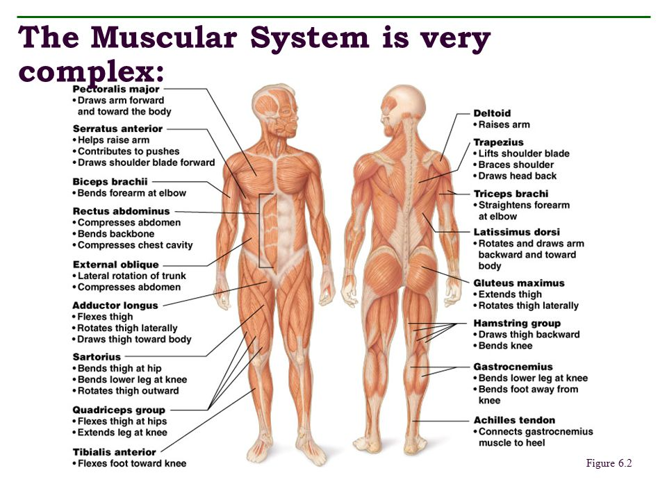 The Muscular System is very complex: