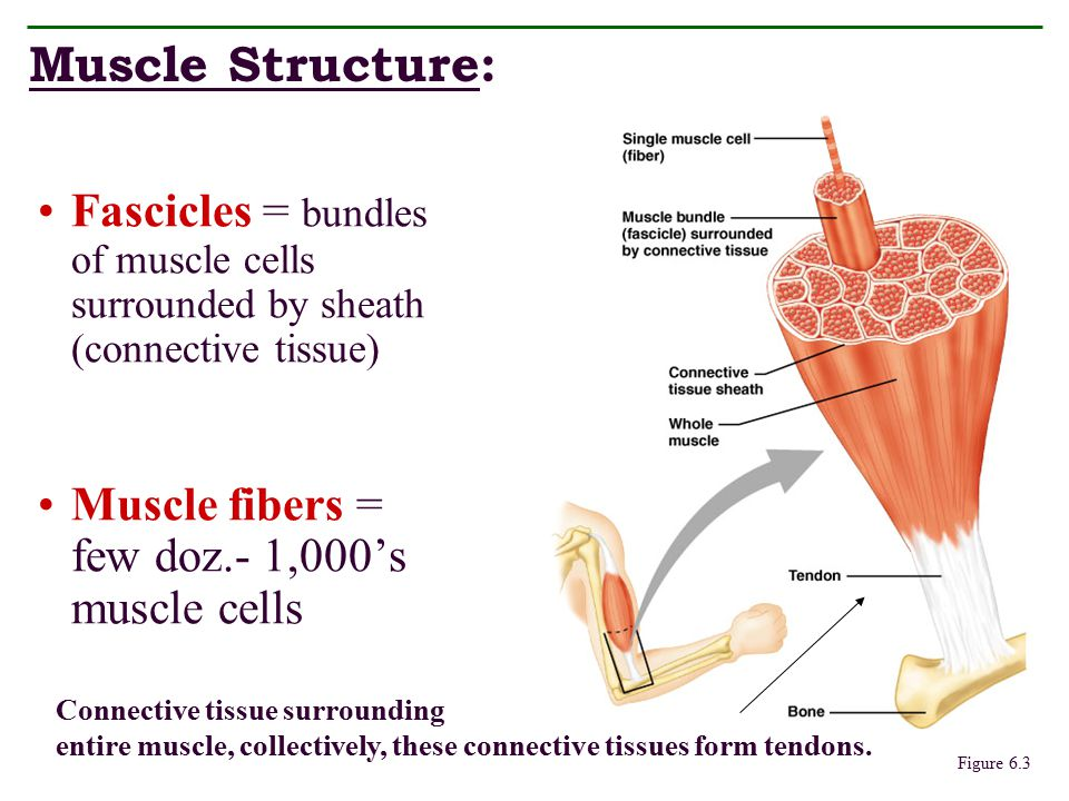Muscle Structure: Fascicles = bundles of muscle cells surrounded by sheath (connective tissue) Muscle fibers = few doz.- 1,000's muscle cells.