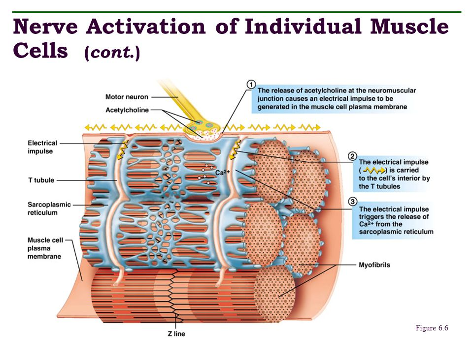 Nerve Activation of Individual Muscle Cells (cont.)