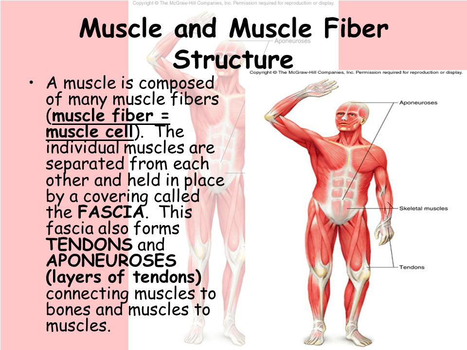 chapter 9 muscular system. - ppt download, Muscles