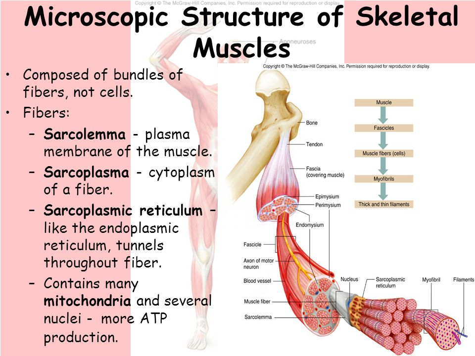 chapter 9 muscular system. - ppt download,