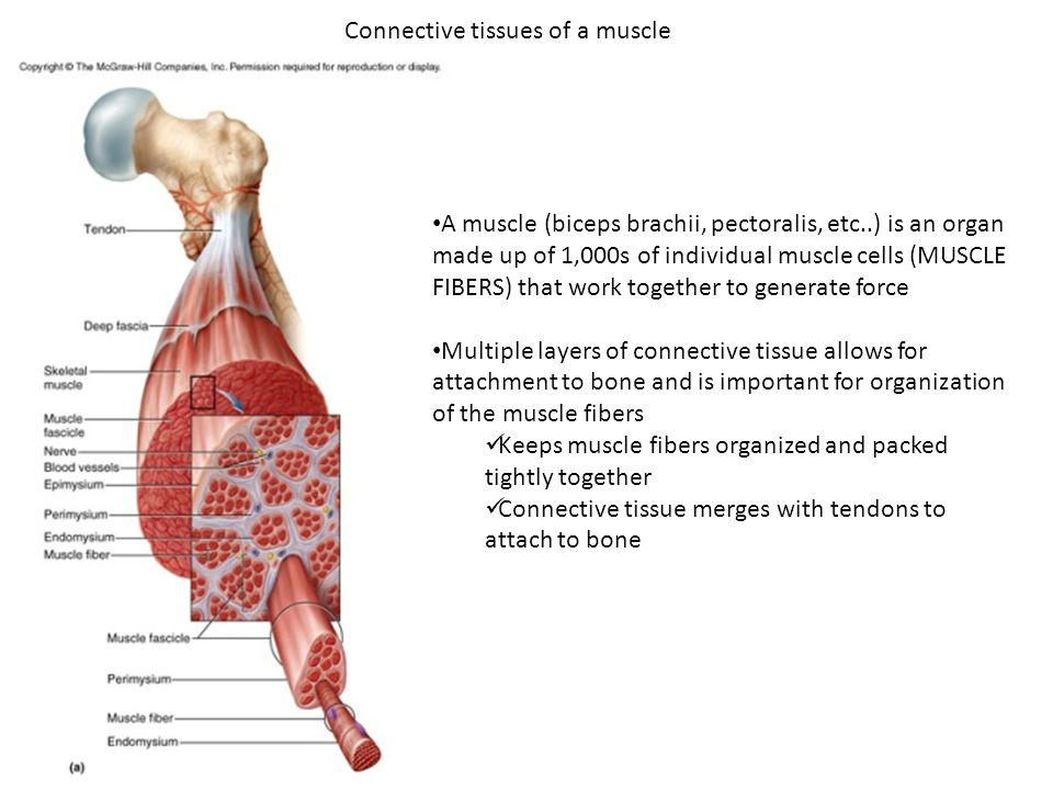 bio 322- human anatomy today's topics muscular system. - ppt download, Muscles
