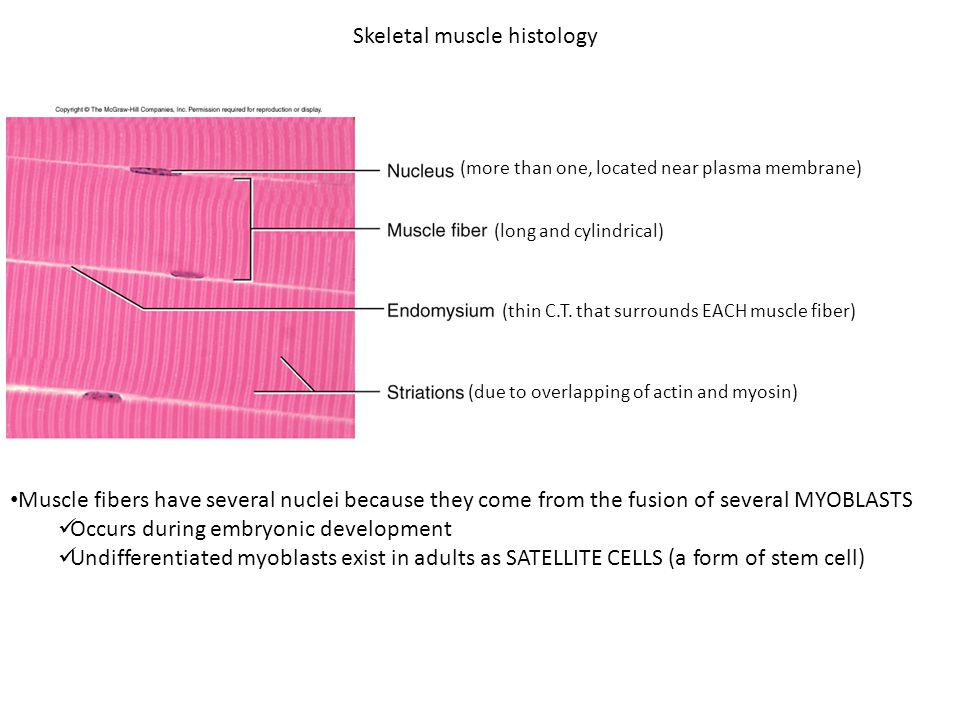 Bio 322- Human Anatomy Today's topics Muscular system. - ppt download