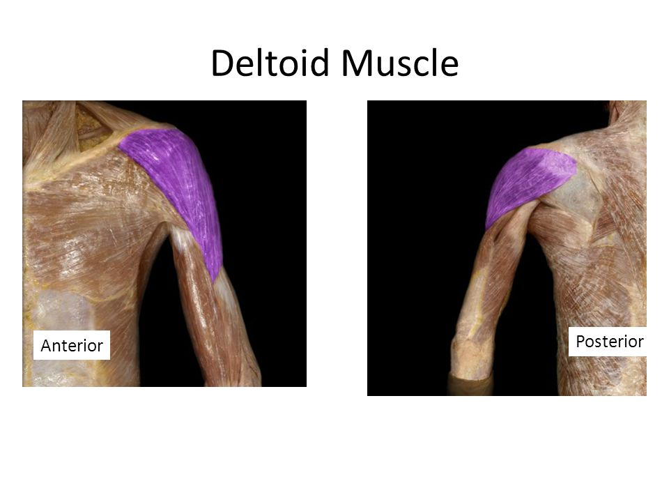 Deltoid Muscle Anterior Posterior