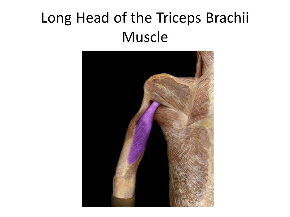 Long Head of the Triceps Brachii Muscle