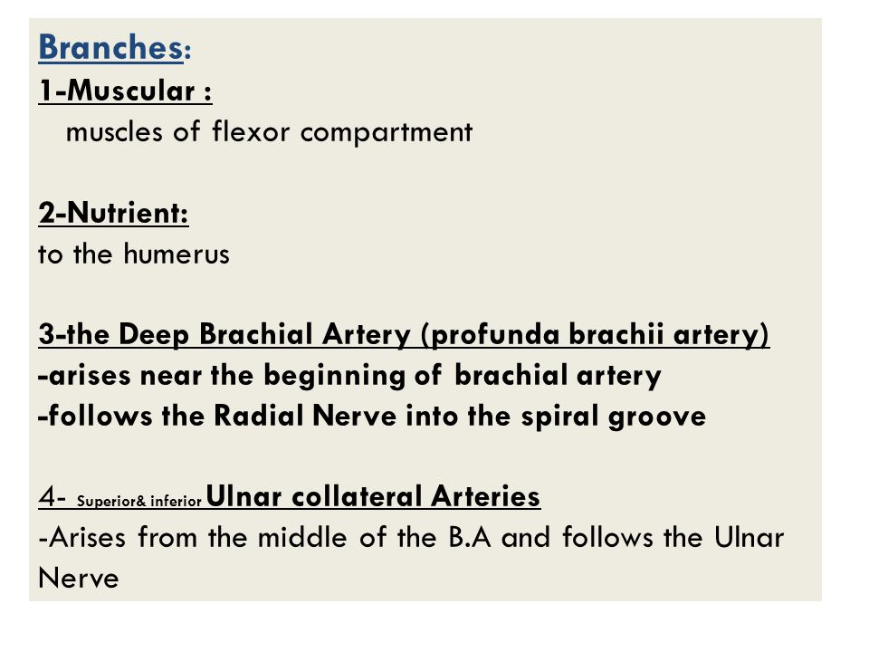 Branches: 1-Muscular : muscles of flexor compartment 2-Nutrient: