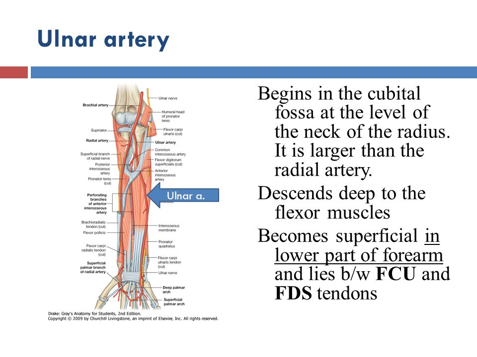 Ulnar artery Begins in the cubital fossa at the level of the neck of the radius. It is larger than the radial artery.
