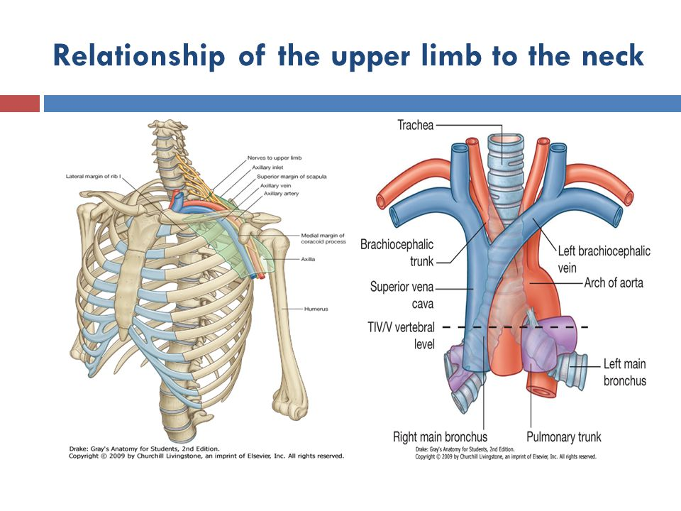 Relationship of the upper limb to the neck