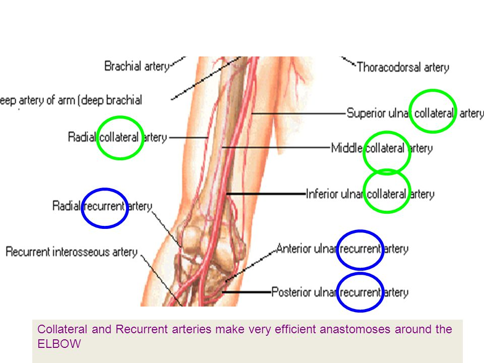 Collateral and Recurrent arteries make very efficient anastomoses around the ELBOW