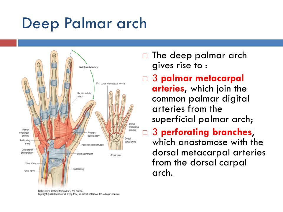 Deep Palmar arch The deep palmar arch gives rise to :