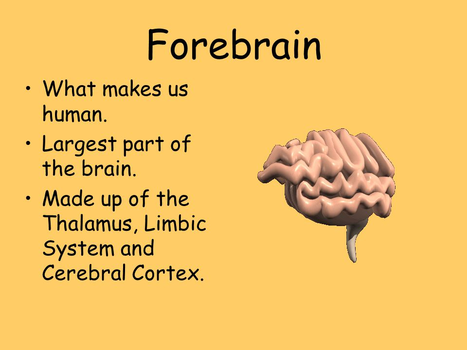 Forebrain What makes us human. Largest part of the brain.