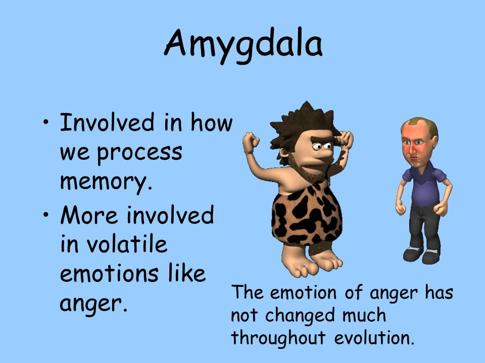 Amygdala Involved in how we process memory.