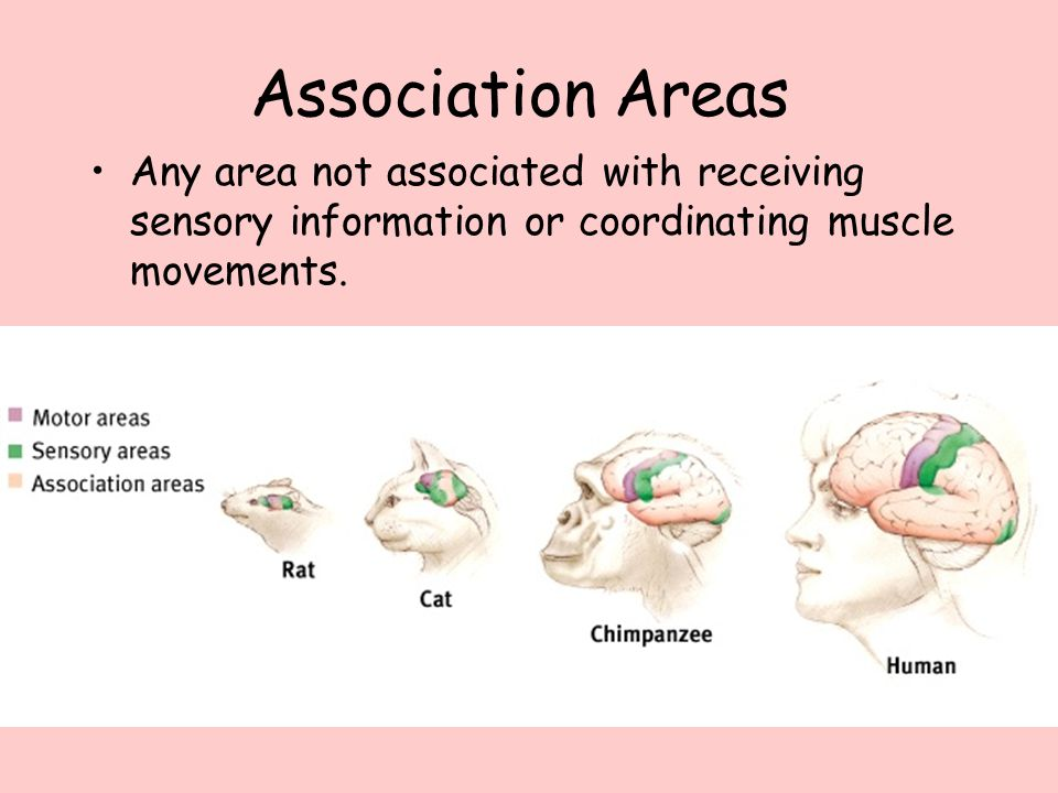 Association Areas Any area not associated with receiving sensory information or coordinating muscle movements.