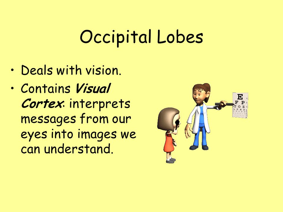 Occipital Lobes Deals with vision.