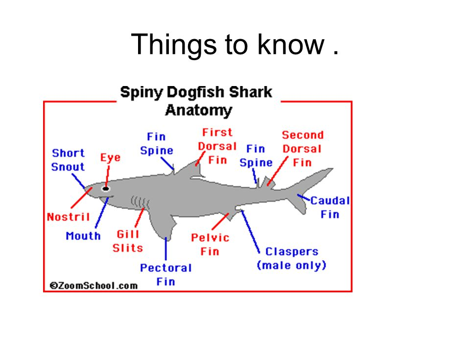 Funky Dogfish Shark Anatomy Image Human Anatomy Images