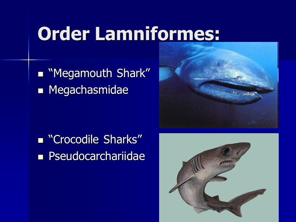 "class chondrichthyes ""cartilaginous fish"" kingdom ani a ppt  31 order"
