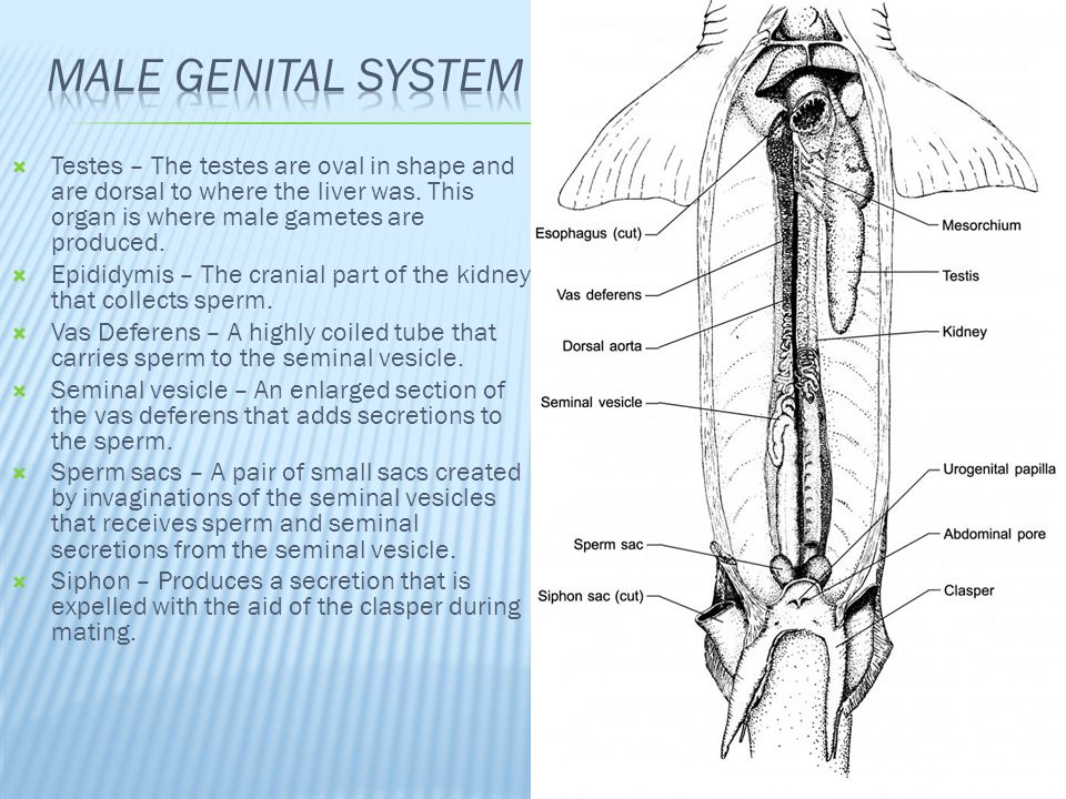 Male Genital System Testes – The testes are oval in shape and are dorsal to where the liver was. This organ is where male gametes are produced.