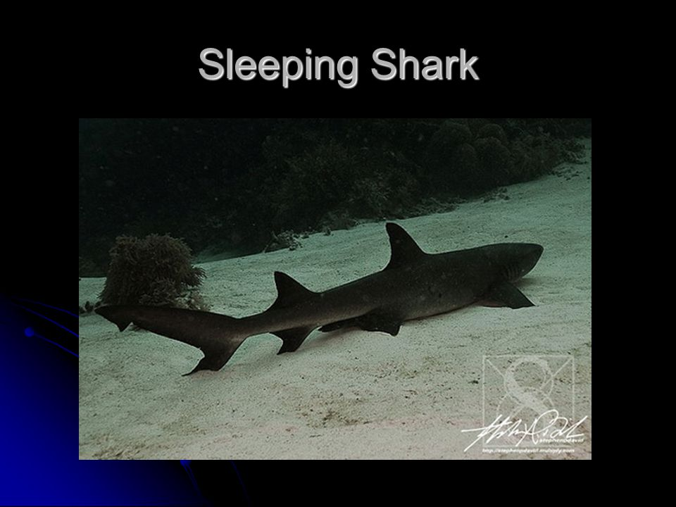 Sleeping Shark