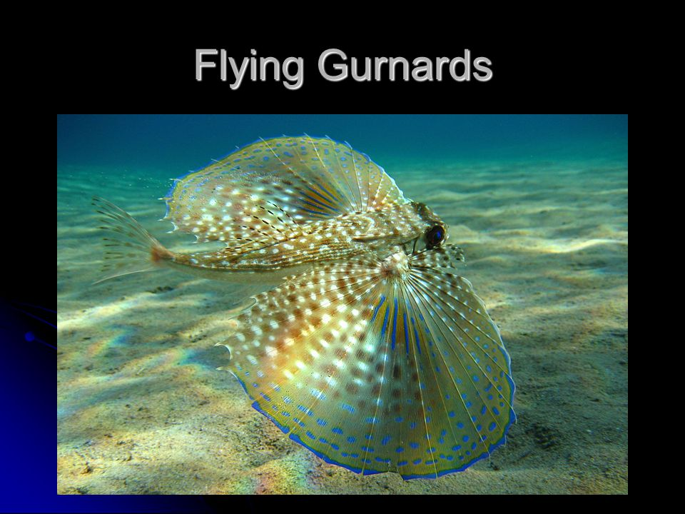 Flying Gurnards