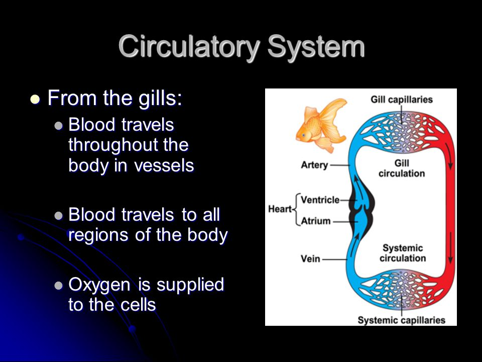 Circulatory System From the gills: