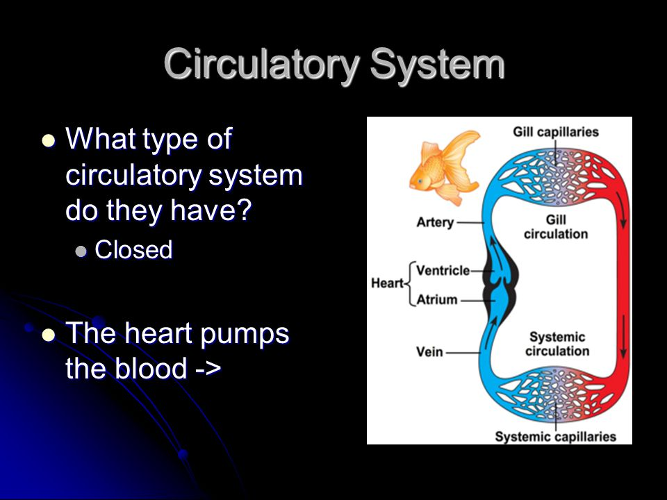 Circulatory System What type of circulatory system do they have
