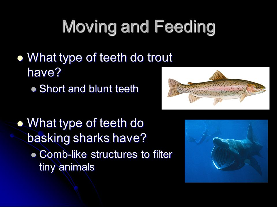 Moving and Feeding What type of teeth do trout have