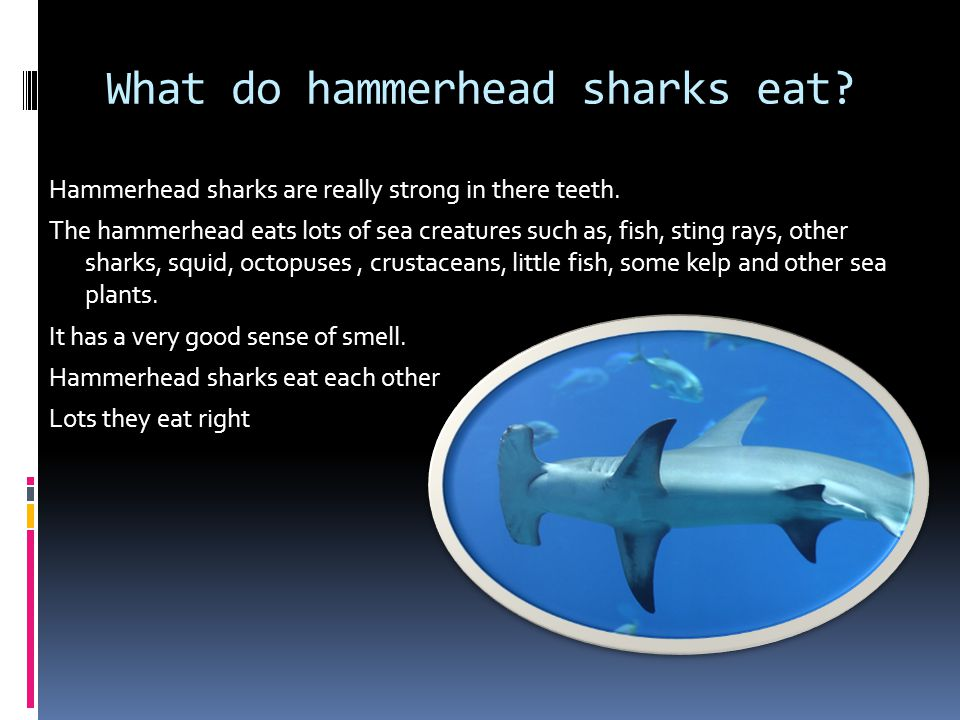What do hammerhead sharks eat