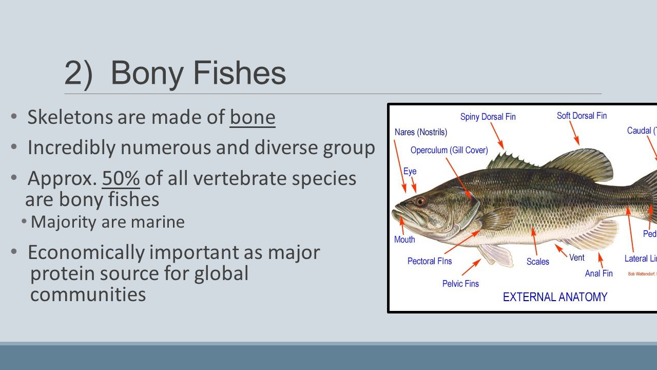 Biology of fishes lesson ppt video online download for Types of bony fish