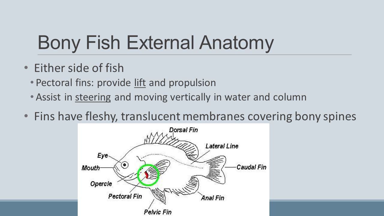 External anatomy of bony fish