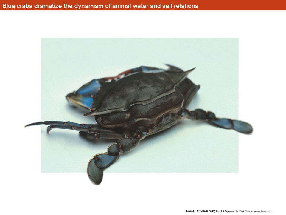 Blue crabs dramatize the dynamism of animal water and salt relations ...