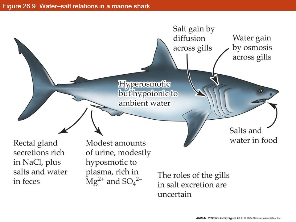 http://slideplayer.com/slide/4603573/15/images/20/Figure+26.9+Water%E2%80%93salt+relations+in+a+marine+shark.jpg